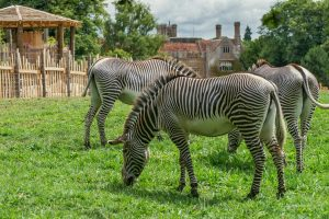 Marwell Zoo Zebras at Wild Explorers by JJCookphotography