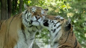Amur tigers grooming each other