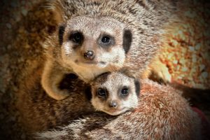 Meerkat family at Marwell Zoo shot by Glenn Atkins