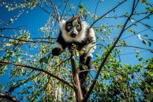 Lemur Loop at Marwell Zoo