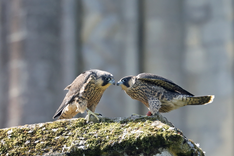 Juvenile male and female Peregrines, 11 June 2018, Richard Jacobs