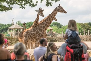 People watching three giraffes in their enclosure at Marwell Zoo
