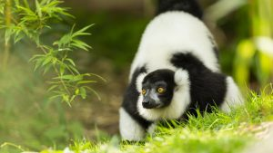 A black and white ruffed lemur walking across grass at marwell zoo