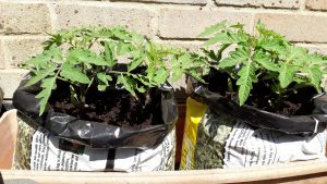 Tomato plants in grow bags