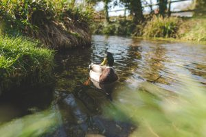 A duck swimming in the river in Alresford